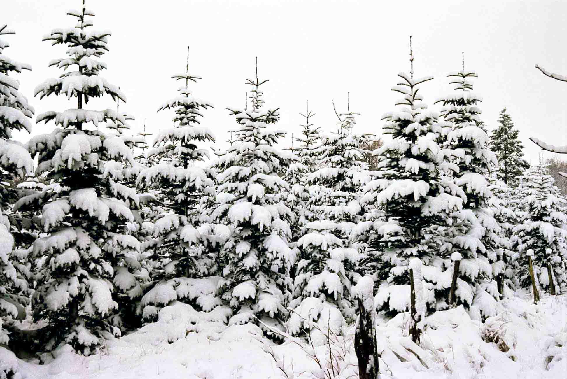 Gut Pronstorf Weihnachtsbäume